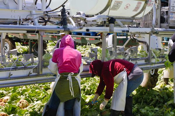 Dole field crew harvesting iceberg lettuce