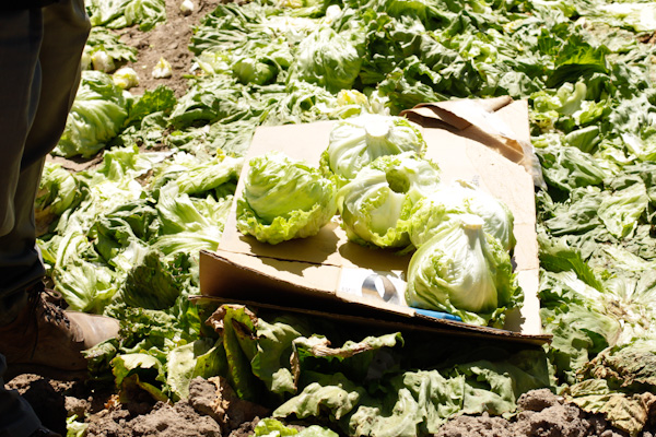 Cored iceberg lettuce
