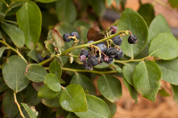 Jubilee blueberry bush   Recipe Renovator